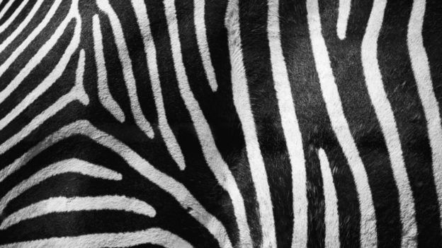 окрас зебр